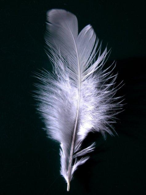 A_single_white_feather_closeup