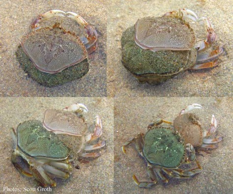 MoultingCrab